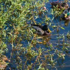 The one on the left turned to leave. This took a few minutes. Ducks are stubborn. I'm wondering what it was all about!
