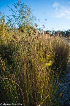 Grasses along the shoreline.