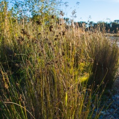 Grasses along the shoreline.