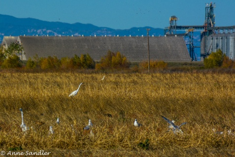 Birds and a Great Egret are feeding.