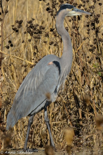 The remaining pictures are of the Great Blue Heron.