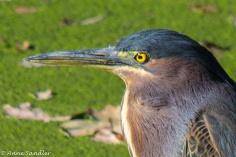 A Blue Heron up close.