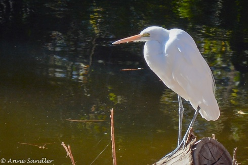 I'm just wondering if they teach the Great Egrets to pose.