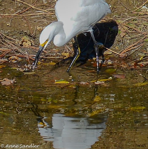 A Snowy Egret looking for food.