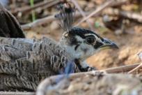 A baby peacock.