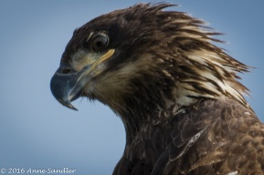 Juvenile Bald Eagle.