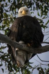 Same Eagle.