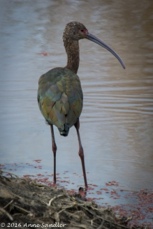 Juvenile White Faced Ibis?