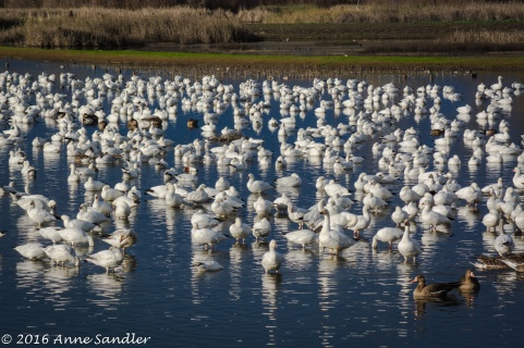 A flock of Snow Geese.