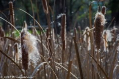 Cattails are a favorite of mine.
