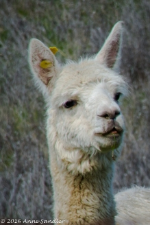 Okay, the difference between an alpaca and llama is the ears. Alpacas have short ears, as pictured, and llamas have longer ones.