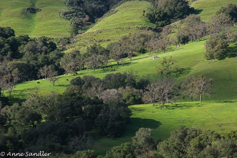Cows grazing on hillside.