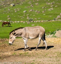 Here's the strange animal. Donkey or zebra.