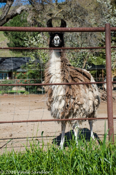 I do believe this is a llama.