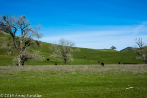 Cows grazing in the pasture.