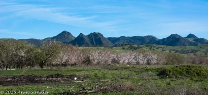 The Sutter Buttes are in the background.