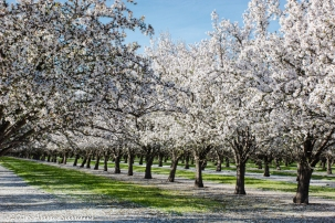 Love the blooming orchards.