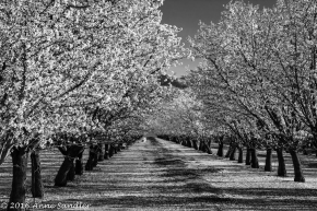 The orchard in black and white.