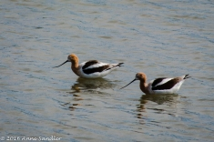 American Avocets doing synchronized swimming.