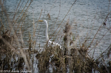 An egret looking for food at the river's shore.