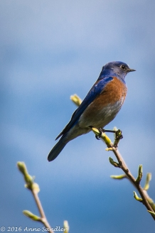 This Lazuli Bunting was posing! Yes, I have a bird book!