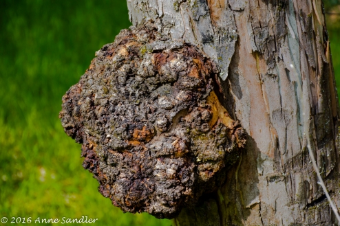 Remember the redwood tree burls, this tree has one also.