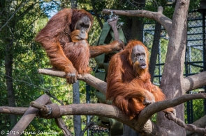 Orangutans. No I don't want to discuss it!