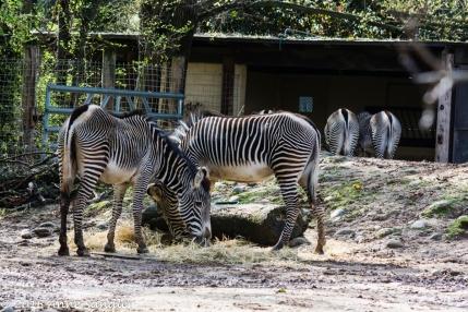 Zebras. It's breakfast time.