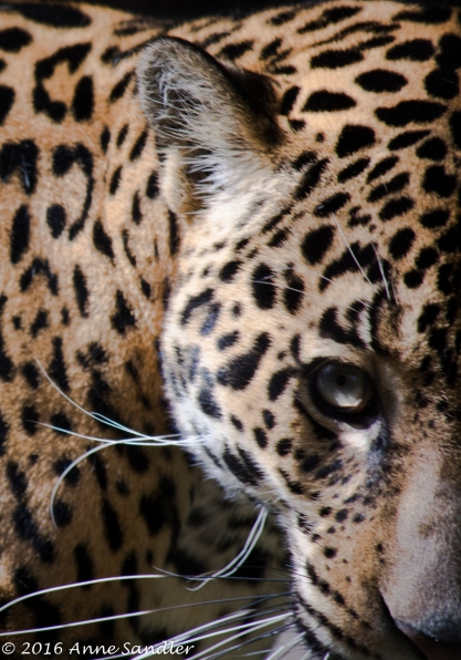 Jaguar. Here's looking at you.