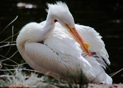 Pelican. Preening.