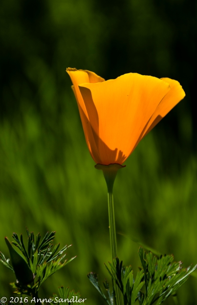 A lone sunlit poppy.