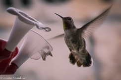One of his many humming bird feeders. I caught this little guy in mid flight.
