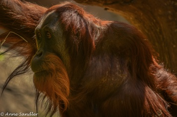 Orangutan close up!
