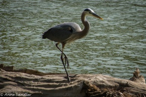 A Great Blue Heron on a log.