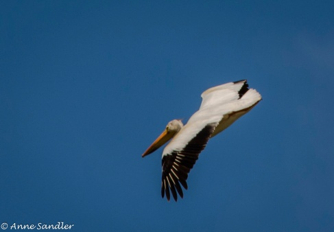 A pelican in flight.
