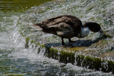 This duck is drinking from one of the fountains in the middle of the pond.