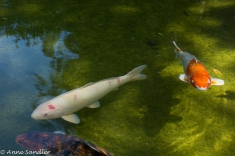 Of course, there are Koi. Some of them are huge!