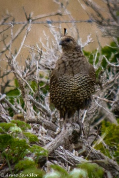 A female California Quail
