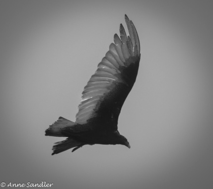 This turkey vulture was flying through the fog. This was the best I could do. Making it black and white helped.