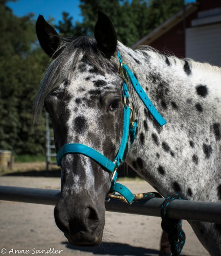 We met an Appaloosa and her owner.