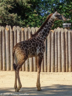 Rocket, the baby giraffe. He's old enough to be out with the herd.