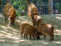The Red River Hog family. The babies have grown since my last visit.