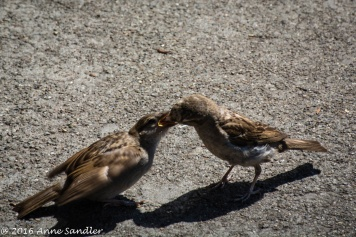 Outside on the pier. The birds would share their bounty. I'm not sure if this is a mom and baby or they are just nice to each other.