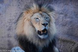 Kamu, the male African lion, was wide awake.