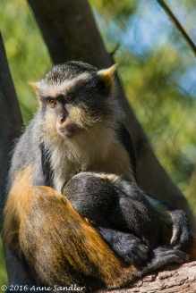 Mother Wolf's Guenon and her baby. I think the baby is nursing.