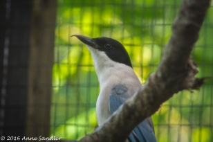I think this is the Azure Winged Magpie. My first successful attempt in getting through the cage with a bird.