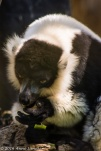 Lemurs tend to be right near the cage.