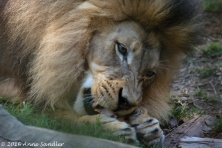 All the big cats were given bones to chew on.