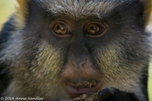 Getting close and personal with a Wolf's Guenon.