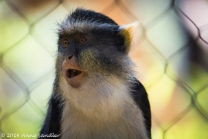 Getting further back with another Wolf's Guenon.